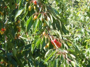Cherries are turning color!