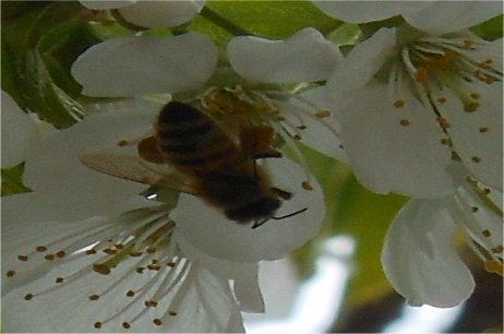 Save the Honeybee!