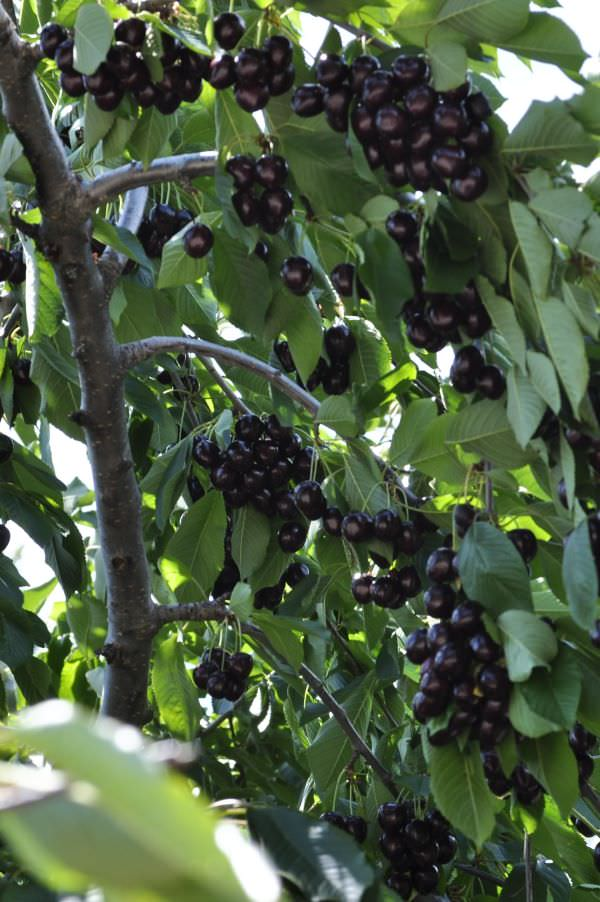 Hardy Giant Cherries on the Tree