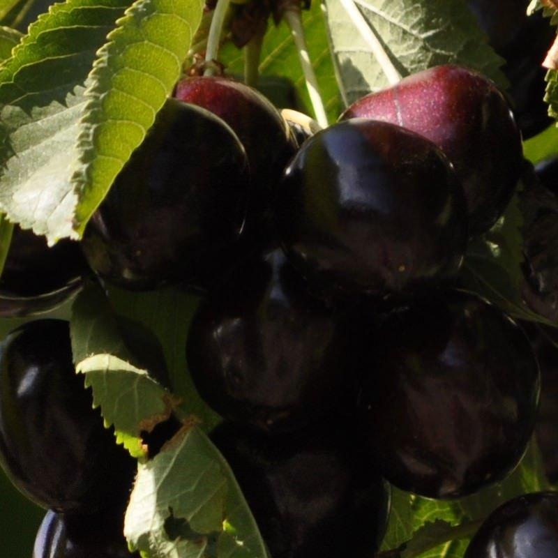 Fresh Lambert Cherries on the Tree