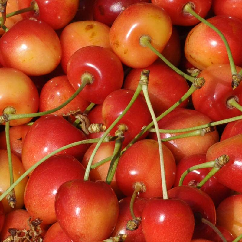 Heirloom Royal Anne Cherries Fresh Picked